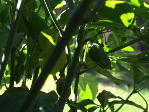 Habanero Hot Pepper