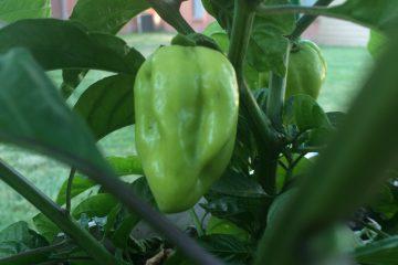 Trinidad Scorpion Hot Pepper